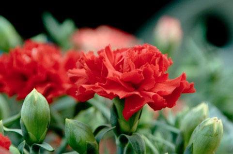 free-photo-hahanohi-carnation-red-green